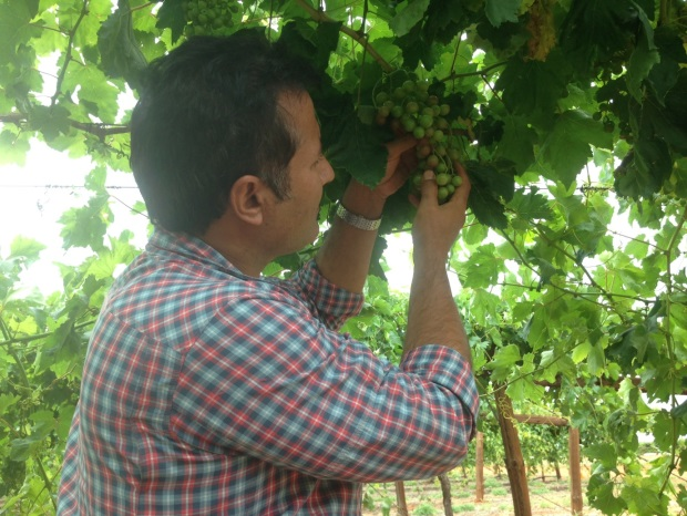 Dr Ali Sarkhosh inspects Flame seedless grape clusters and berries